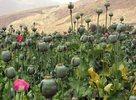 Cultivos de opio en Afganistán