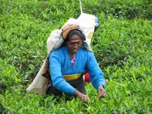 Sri Lanka  Té